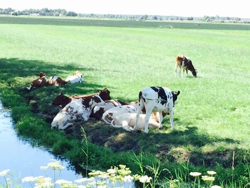 Cows relaxing by a stream along the bike path in Waterland.