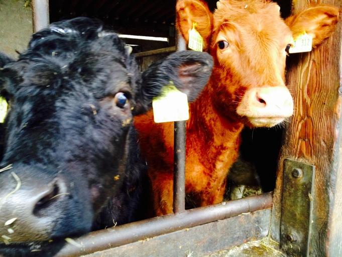 Friendly cows!