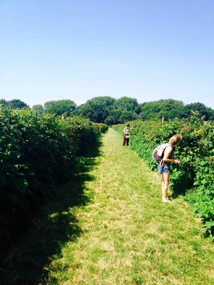 Picking raspberries in Germany.
