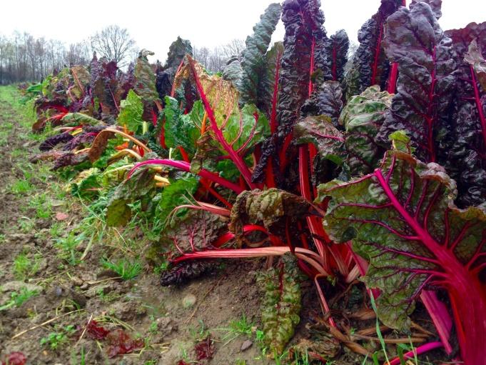 Rhubarb plants.