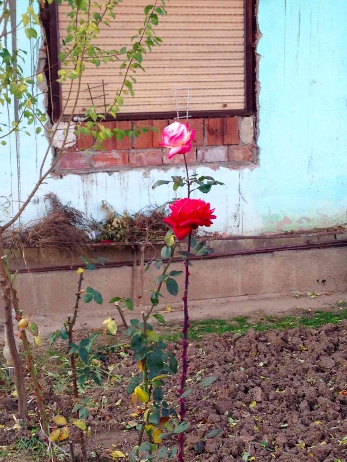 Roses in Niš.